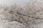 4月15日(土)お花見
